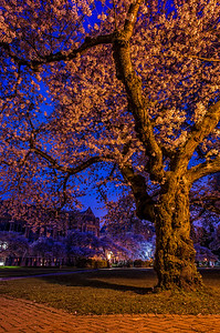 The Quad's cherry blossoms, UW