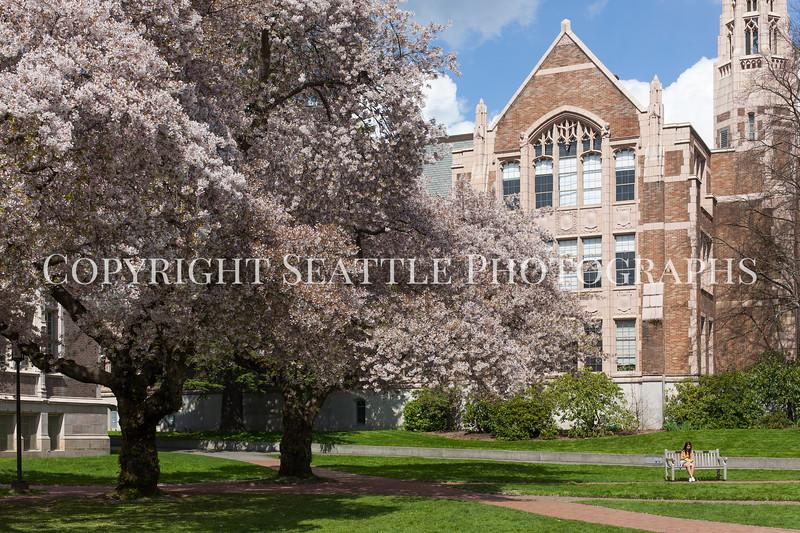 University of Washington Cherry Trees 157