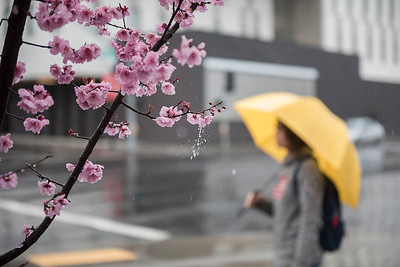 Maria Avelar holds a yellow umbrella as an early bloom of Spring blossoms begin to show their pink color during a rainy day on Friday, February 17, 2017 in Chico, Calif.  (Jason Halley/University Photographer)