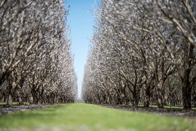 The almond orchards at the University Farm were blooming on Sunday, February 26, 2017 in Chico, Calif. (Jason Halley/University Photographer)