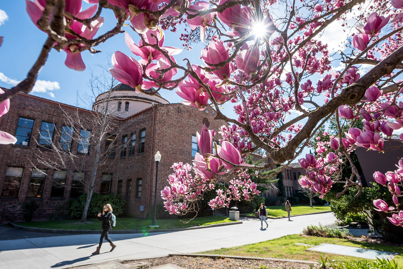 Magnolias blossom next to Kendall Hall on Monday, February 27, 2017 in Chico, Calif.<br /> (Jason Halley/University Photographer)