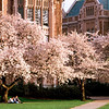 A couple picnics under the cherry blossoms in the Quad