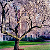Cherry tree with birdhouse.  This photograph was taken in 1988.  The birdhouse, which many speculated was probably a fraternity or sorority project, remained in the tree for several years