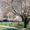 Cherry blossoms in the Quad on a warm spring day