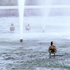 Canada geese showering in Drumheller Fountain