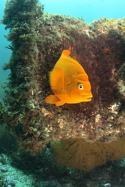 Garabaldi protecting it nest<br /> Avalon dive park