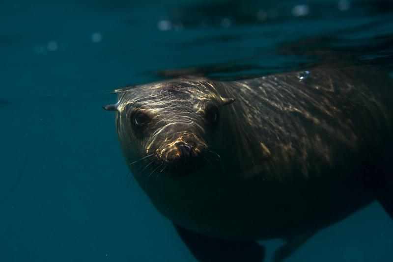 California Sea lion<br /> Anacapa Island