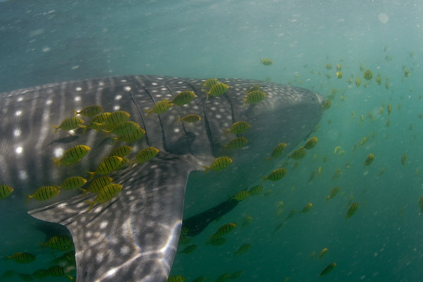 Whale Shark and sargeant Majors<br /> La Paz, Mexico