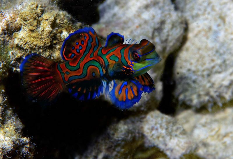 Solitare mandarine fish<br /> Palau, Micronesia