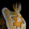 Chromodoris coi- This stunning and remarkable specimen is not only beautiful but interesting to watch.