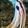 Matote Blue Ring Octopus-Deadly, ornate and truly remarkable. This guy was very patient and playful as many octopi can be. Suddenly flushing white i was able to get off four frames...One portrait style...