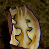 Chromodoris coi-Mantle flapping, hard to believe this is the same animal as the prior photo