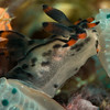 Perhaps one of a kind-Polycera sp. feeding on a tunicate