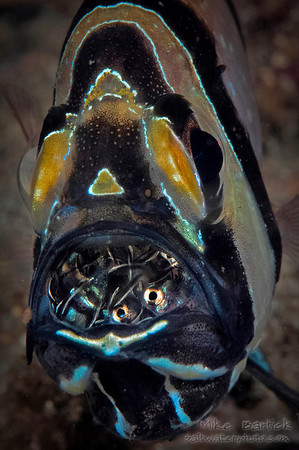 Banggai cardinal fish brooding its fry
