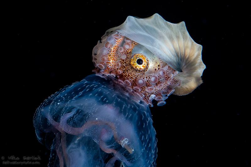 Paper Nautilus riding a jellyfish