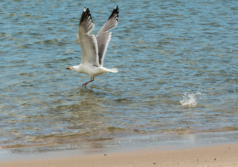 A seagull skims the water after capturing a fish in his talons.<br /> LBI: Summer, 2013<br /> <br /> Copyright: Studio 63