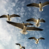 Flock of seagulls fly over the beach on Long Beach Island (Summer, 2013)<br /> <br /> Copyright: Studio 63