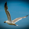 A seagull flies off with his lunch.<br /> LBI: Summer, 2013<br /> <br /> Copyright: Studio 63