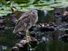 Juvenile- Black-crowned Night Heron