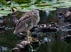 Juvenile- Black-crowned Night Heron