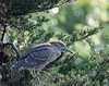 Juvenile--Black-crowned Night Heron