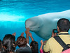 Sea-world--amazing that this Beluga Whale came and pressed head to aquarium as if to connect with these children!
