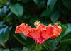Pretty Hibiscus