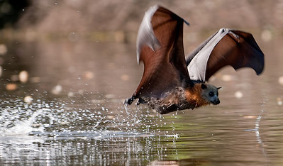 February 8th, 2009. Parramatta Park. 40C+ and relatively low humidity gave conditions that were getting uncomfortably close to heat stress which can cause mass mortality in grey headed flying fox colonies. On the same day, thousands of greys died in heat stress conditions further south in Melbourne.   This flying fox is belly dipping in Parramatta River to rehydrate and cool herself. It's a technique that requires a lot of skill. Heat stress seems to kill a lot of very young bats and part of the reason may be that their flight skills just aren't good enough for them to belly dip.