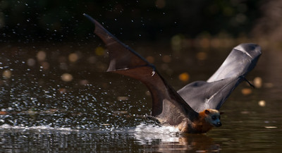 Belly dipping grey headed flying fox getting a good dunking in Parramatta River