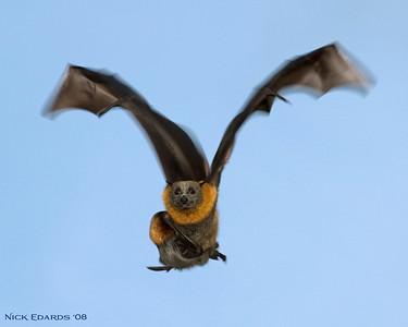 A bat on a bombing run......