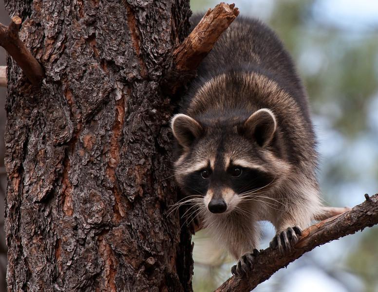 Waskily Waccoon (Raccoon) Arizona Highways Magazine Friday Fotos Blog featured photo, 2012
