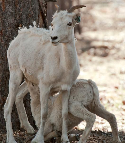 Dall Sheep and lamb
