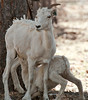 Dall Sheep and lamb