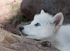 Arctic Wolf Pup, female named Twilight...and she sure was! Look at those blue eyes!