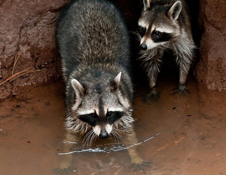 Another take of the raccoons, poolside!