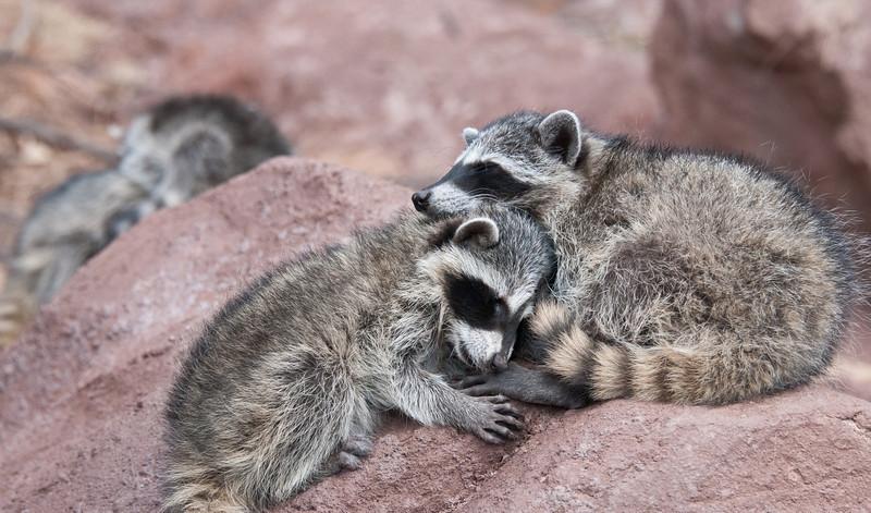 Raccoon Kits..or Cubs
