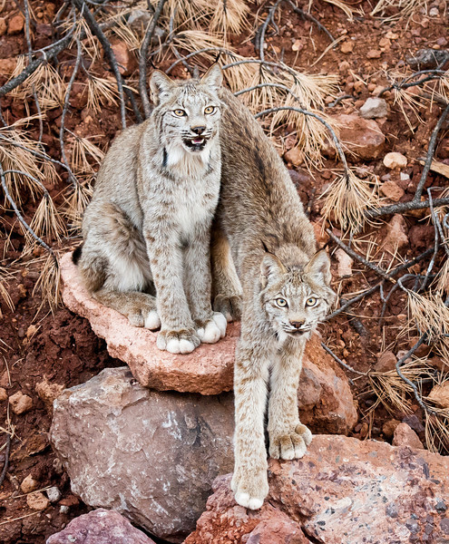 Memphis and Foxy, the Canadian Lynx