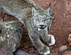 Canadian Lynx