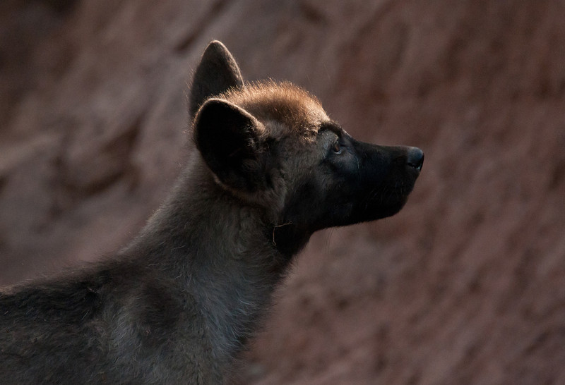 Light and Shadow--The Tundra Wolf Pup