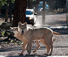 """""""Drive through"""" brings you up close and personal with some spectacular wildlife! Arctic and Gray Wolves are featured attractions."""