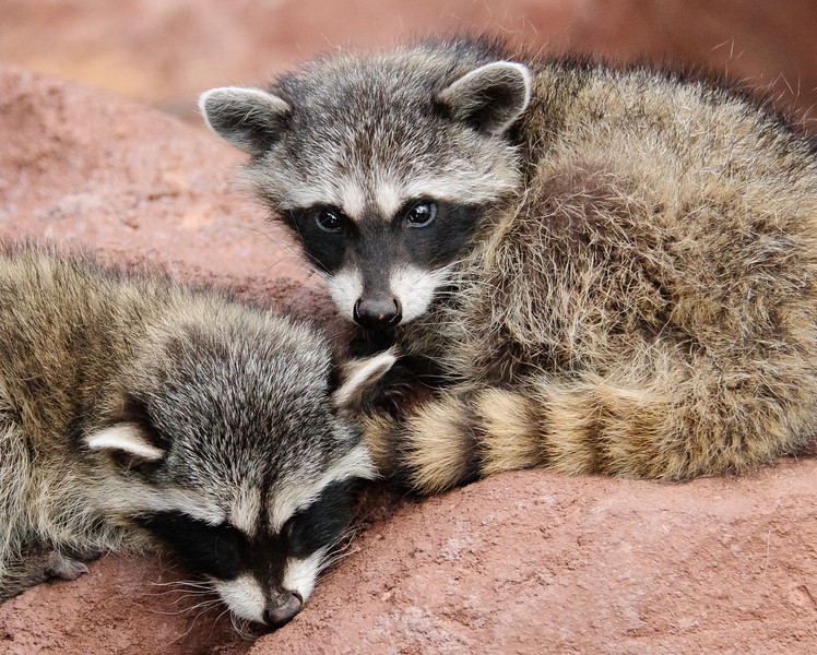Baby Raccoons approximately 8 weeks old