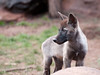 Shadow, the Tundra Wolf pup