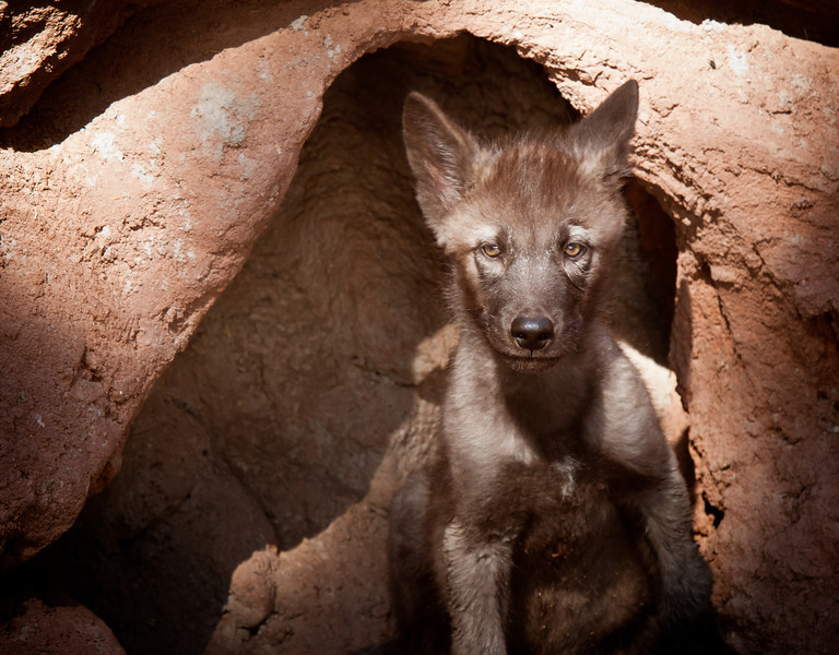 Shadow--The Tundra Wolf pup