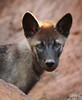 A glint of sunset and Shadow, the Tundra Wolf pup