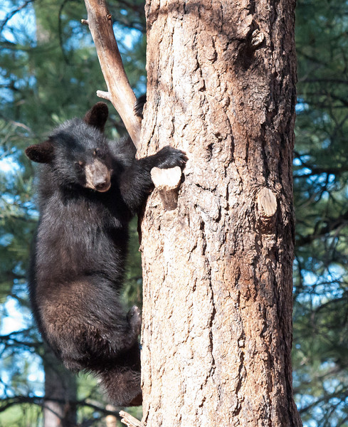 Bear Cubs at Bearizona<br /> <br /> <br /> Bear cubs in trees!...all in a days work (or play) for these little guys!