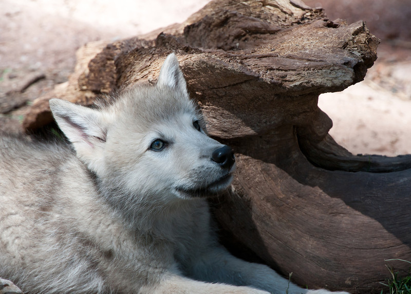 Wolf Pup, a gray male name Juno