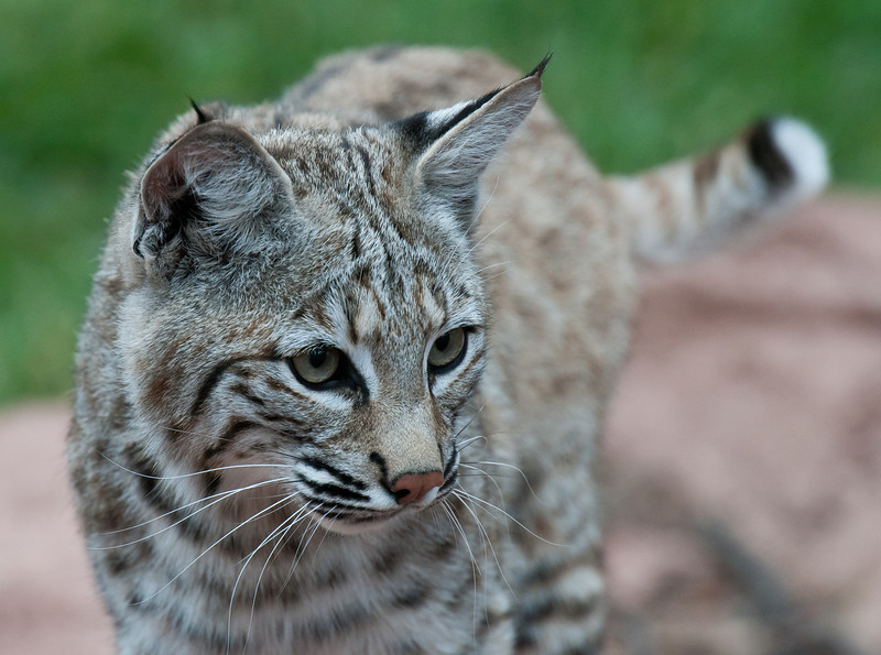 "Arizona Bobcat ""Remy or Sig"""