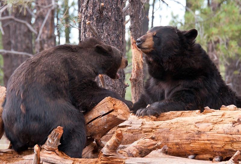Stand-off at the woodpile! Bearizona