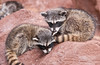 Raccoon kits or cubs...4 at approximately 8 weeks old!
