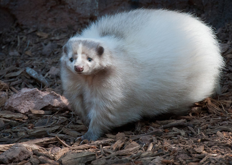 White Skunk--They come in all white? Who knew?